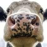 vaca louca e judaísmo